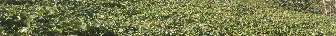 مزارع چای شهرستان املش
