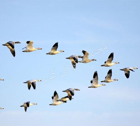 504 واژه ضروری انگلیسی - معنی کلمه migrate با استفاده از عکس و تصاویر