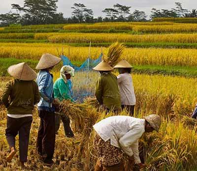 504 واژه ضروری انگلیسی - معنی کلمه harvest با استفاده از عکس و تصاویر