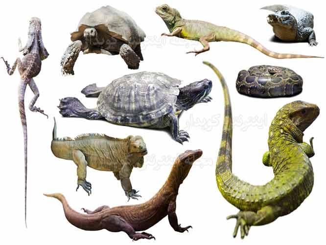 504 واژه ضروری انگلیسی - معنی کلمه reptile با استفاده از عکس و تصاویر