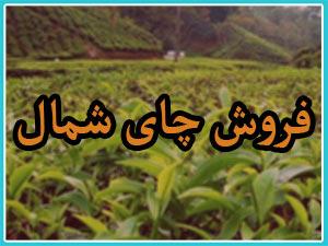 فروش چای بهاره گیلان 1398